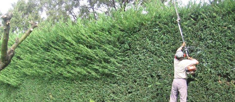 Podas de setos y arbustos jardineria madrid for Arbustos ornamentales para jardin